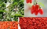 Барбарис и ягоды годжи – это одно и то же В чем разница.