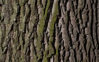 Польза коры дуба, как использовать кору дуба, лечение корой дуба