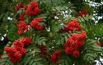 Польза рябины красной для здоровья, применение рябины, чем полезны ягоды рябины красной