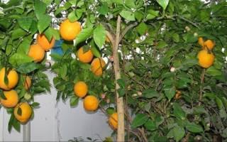 Польза и вред апельсинов для здоровья женщин и мужчин, противопоказания к употреблению
