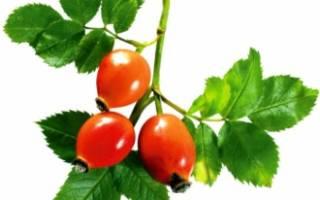 Шиповник – состав и польза витаминов, сколько содержится витамина С в шиповнике