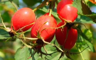 Шиповник при лечении гипертонии – польза, применение, рецепты